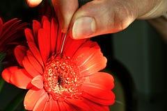 Gerbera rojo conmovedor Garvinea de la flor de la mano de la mujer con la aguja quirúrgica Imagenes de archivo