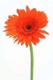 Gerbera rojo de la flor Imagenes de archivo