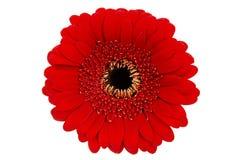 Gerbera rojo en blanco Fotografía de archivo libre de regalías