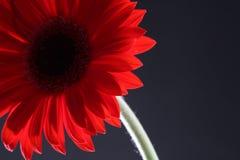 Gerbera rojo en fondo negro Foto de archivo libre de regalías