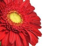 Gerbera rojo en un fondo blanco. Fotos de archivo libres de regalías