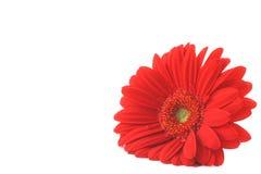Gerbera rojo que miente en el copyspace blanco Fotos de archivo libres de regalías