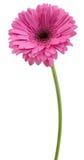 Gerbera rosa Fotografie Stock Libere da Diritti
