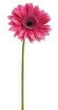 Gerbera rosa Immagini Stock