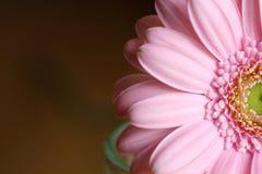 Gerbera rosa Fotografia Stock Libera da Diritti