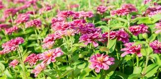 Gerbera rosa nel garden2 Fotografie Stock Libere da Diritti