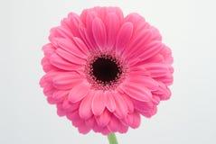 Gerbera rosa su fondo bianco Fotografia Stock Libera da Diritti