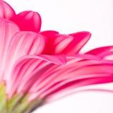 Gerbera rosado Imagen de archivo libre de regalías