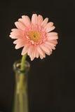Gerbera rosado Fotografía de archivo