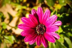 Gerbera rosado Fotos de archivo