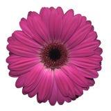 Gerbera rosado Fotos de archivo libres de regalías