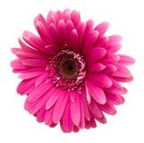 Gerbera rosado aislado en blanco Imagen de archivo