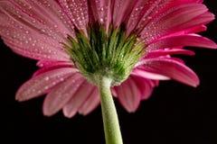 Gerbera rosado Visión inferior imagen de archivo libre de regalías