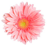 Gerbera rose Photo libre de droits