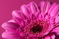 Gerbera rose Photos libres de droits