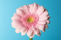 Gerbera rose Photographie stock libre de droits