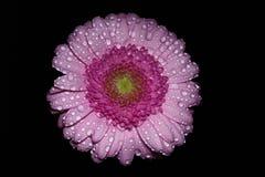 Gerbera rose Photos stock