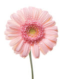 Gerbera rose. Images stock