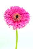 Gerbera rose Photographie stock
