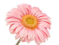 Gerbera rose d'isolement Photo stock