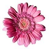 Gerbera rose de fleur Image stock