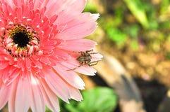 Gerbera rose et petite araignée Photographie stock