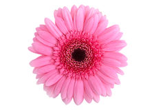 Gerbera rose parfait Photos stock