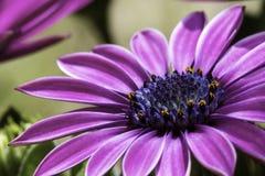 Gerbera rose réceptif dans le marco Photographie stock libre de droits