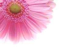Gerbera rose simple photographie stock libre de droits