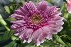 Gerbera rose dans un jardin Images libres de droits