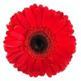 Gerbera rossa Fotografia Stock Libera da Diritti