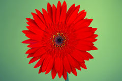 Gerbera rossa isolata su fondo verde Fine in su Fotografie Stock