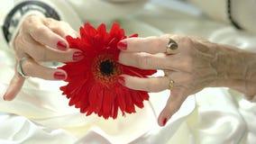Gerbera rossa in mani anziane della donna stock footage