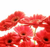 Gerbera rosso Fotografie Stock Libere da Diritti