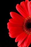 Gerbera rosso Immagini Stock Libere da Diritti