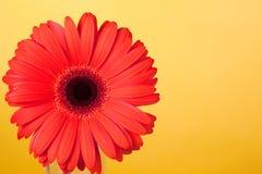 Gerbera rosso del fiore Fotografia Stock