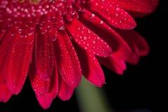 Gerbera rosso sul nero Immagine Stock