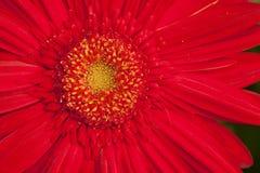 Gerbera rouge Photographie stock