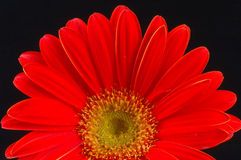 Gerbera rouge Photographie stock