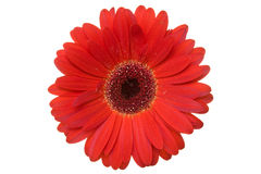 Gerbera rouge. Images stock