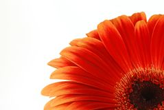 Gerbera rouge Photos stock