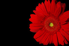Gerbera rouge Image stock