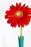 Gerbera rouge dans le vase images stock