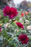 Gerbera rouge de Mulltilobe fleurissant en automne en parc photographie stock libre de droits