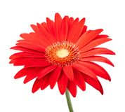 Gerbera rouge photo stock