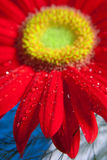 Gerbera rouge (margarita africain) Photos stock