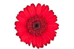 Gerbera rouge parfait Photographie stock libre de droits