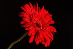 Gerbera rouge sur le fond noir Photo libre de droits