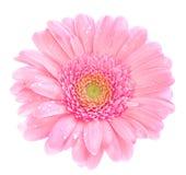 gerbera roze Στοκ Εικόνες