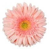 Gerbera roze kleur Royalty-vrije Stock Afbeelding